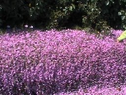 fig3-fiori-lilla-rdm.jpg
