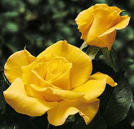 rose_giallethumb.jpg