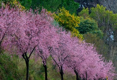 primaveraalberifioritibycapannelle.jpg