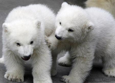 orsi-polari.jpg
