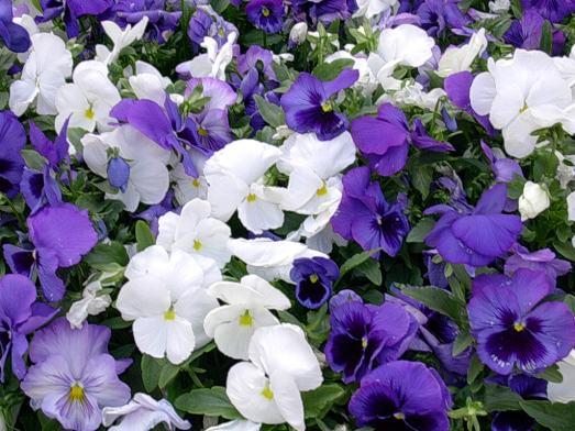 viole-1.jpg