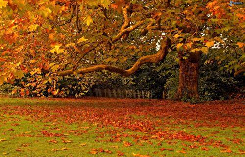 foglie colorate, grande albero, giardino, autunno, foglie secche 161739